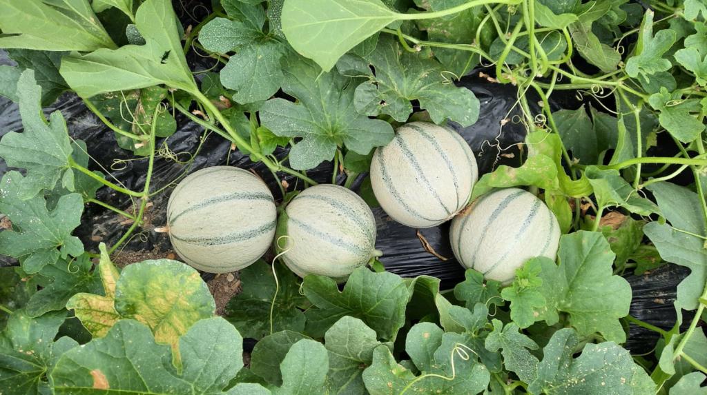 Semana final del ensayo de Agrav Activ en melones.